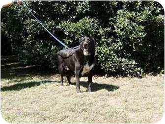 Bloodhound/Labrador Retriever Mix Dog for adoption in Winnsboro, South Carolina - Brandy