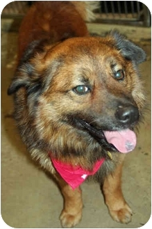 Keeshond Mix Dog for adoption in Racine, Wisconsin - Bismark