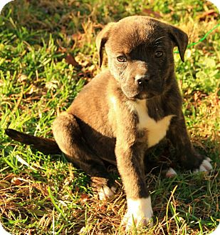 Boxer/Terrier (Unknown Type, Medium) Mix Puppy for adoption in Harrisonburg, Virginia - Courtland