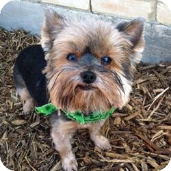 Yorkie, Yorkshire Terrier Mix Dog for adoption in Austin, Texas - Maggie