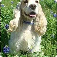 Adopt A Pet :: Opie - Sugarland, TX