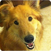 Adopt A Pet :: Lassie - Denver, CO