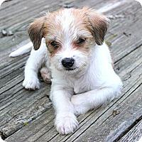 Adopt A Pet :: *Rio - PENDING - Westport, CT