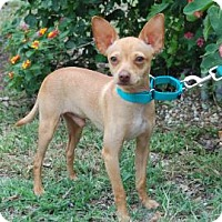 Adopt A Pet :: Jerry - Bradenton, FL
