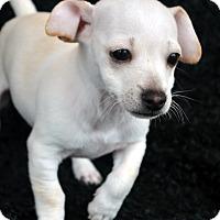 Adopt A Pet :: Cruze-Adoption pending - Bridgeton, MO