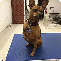 Adopt A Pet :: Tabby - Eastpointe, MI