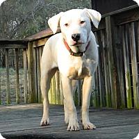 Adopt A Pet :: Bruiser - Reduced Fee $350 - Washington, DC