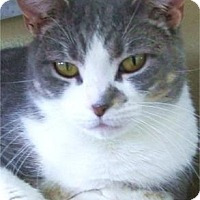 Domestic Shorthair Cat for adoption in Waupaca, Wisconsin - Yoga