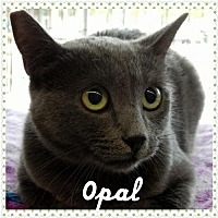 Russian Blue Cat for adoption in Walnut Creek, California - Opal