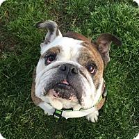 Adopt A Pet :: Bruiser - Santa Ana, CA