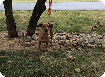 Dachshund Mix Dog for adoption in Mechanicsburg, Ohio - Tammy