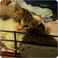 Domestic Shorthair Kitten for adoption in Palisades Park, New Jersey - Peanut