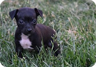 Terrier (Unknown Type, Medium) Mix Puppy for adoption in Sacramento, California - Tyra Banks