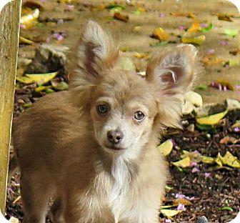 Chihuahua Puppy for adoption in San Antonio, Texas - Abe