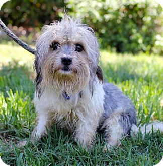 Yorkie, Yorkshire Terrier/Lhasa Apso Mix Dog for adoption in San Diego, California - Dwyer