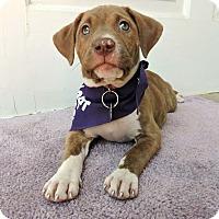 Adopt A Pet :: Pumpkin-Pending! - Detroit, MI