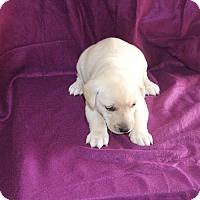 Adopt A Pet :: Gabe - Huntsville, AL