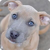Pit Bull Terrier/American Staffordshire Terrier Mix Puppy for adoption in College Station, Texas - Monroe