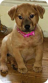 Labrador Retriever Mix Puppy for adoption in Fort Atkinson, Wisconsin - Lauren