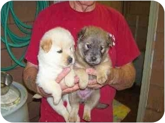 Samoyed Mix Puppies