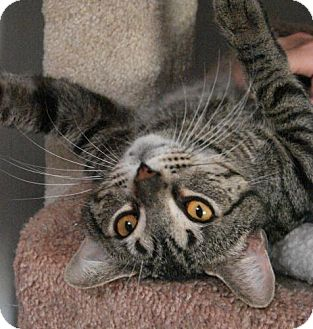 Domestic Shorthair Cat for adoption in Grand Rapids, Michigan - Alcatraz