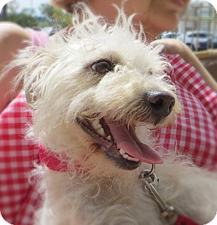 Westie, West Highland White Terrier Mix Dog for adption in Long Beach, California - Snowy