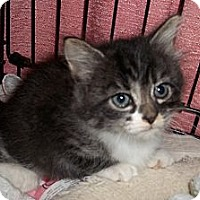 Adopt A Pet :: Bonnie (brother is Clyde) - Acme, PA