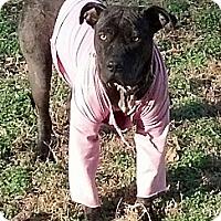 Adopt A Pet :: Rainbow - nashville, TN