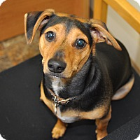 Adopt A Pet :: Chico - Tumwater, WA