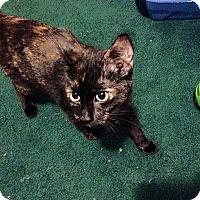 Adopt A Pet :: Simone - Tampa, FL
