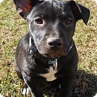 Adopt A Pet :: Baby Monkee - Rockville, MD