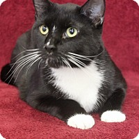 Adopt A Pet :: Boots - Wichita, KS