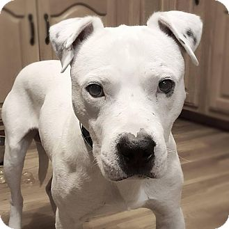 American Pit Bull Terrier Mix Dog for adoption in Chattanooga, Tennessee - Hogan