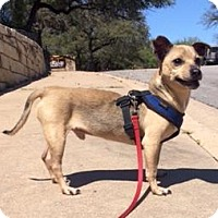 Chihuahua Mix Dog for adoption in Austin, Texas - Shamrock