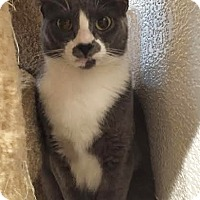 Adopt A Pet :: Kitty Purry - Boca Raton, FL