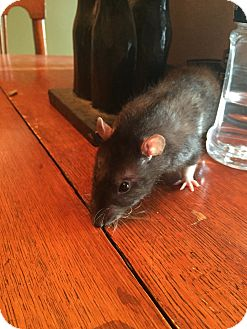Rat for adoption in Welland, Ontario - Cyan