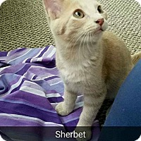 Adopt A Pet :: Sherbet - Chicago, IL