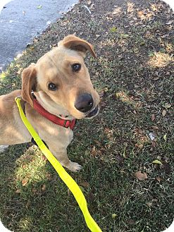 Labrador Retriever Mix Dog for adoption in Los Angeles, California - Cooper