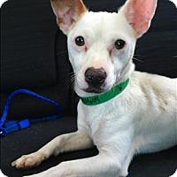 Adopt A Pet :: Michelangelo - Encino, CA