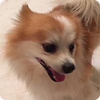 Pomeranian Mix Dog for adoption in Gilbert, Arizona - Barkley