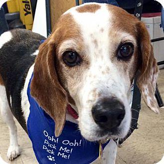 Beagle Mix Dog for adoption in Fairfax, Virginia - Bella