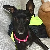 Chihuahua Mix Dog for adoption in Rancho Cucamonga, California - Gypsy
