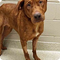 Labrador Retriever Mix Dog for adoption in Shorewood, Illinois - Elly