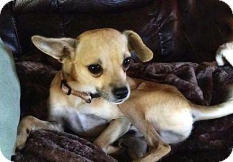 Chihuahua Mix Dog for adoption in Norfolk, Virginia - OSCAR
