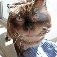 Adopt A Pet :: Mochachino - Harrisonburg, VA