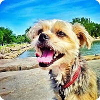 Lhasa Apso/Silky Terrier Mix Dog for adoption in Parma, Ohio - Louie