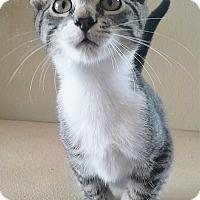 Domestic Shorthair Kitten for adoption in Fredericksburg, Texas - Benson