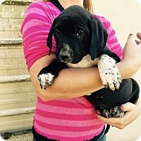 Adopt A Pet :: SELENA BABY BARKLEY - Waldron, AR