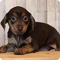 Adopt A Pet :: Jingle - Waldorf, MD