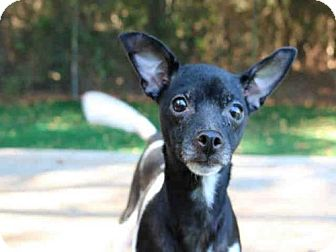 Chihuahua Mix Dog for adoption in Fort Walton Beach, Florida - AGGIE